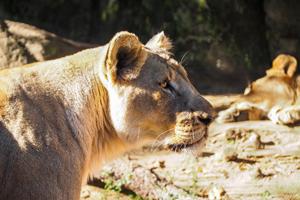 profile of lioness
